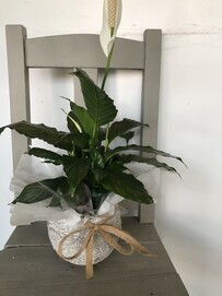 A Peace Lily - With Stone pot